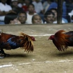 Betting On Roosters, Insects And Rats In Moscow